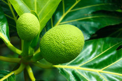 Breadfruit royalty free stock photo