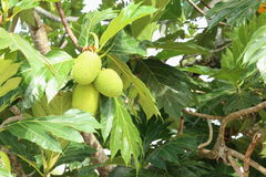 breadfruit Images libres de droits