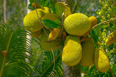 breadfruit Photo libre de droits