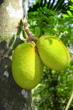 Breadfruit (Artocarpus altilis). Breadfruit in the jungles of Sri Lanka Stock Photo