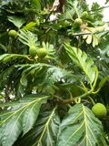 Breadfuit tree Artocarpus altilis. Breadfruit or Artocarpus altilis on the tree Stock Photos