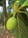 Breadfuit tree Artocarpus altilis 2. Breadfruit or Artocarpus altilis on the tree Stock Photo