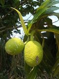 Breadfuit tree Artocarpus altilis 10. Breadfruit or Artocarpus altilis on the tree Stock Photos