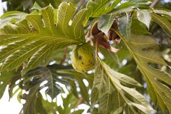 Breadfruit (Artocarpus altilis). Tree with the fruit Royalty Free Stock Photography
