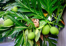Breadfruit Artocarpus altilis tree with fruits. Breadfruit originated in the South Pacific and was eventually spread to the rest of Oceania Stock Photo
