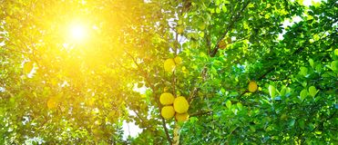 Ripe breadfruit Artocarpus altilis on a tree. Wide photo. Breadfruit Artocarpus altilis tree with ripe fruits. The rays of the bright sun shine through the Royalty Free Stock Photography
