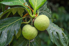 Breadfruit (Artocarpus altilis). Breadfruit on a breadfruit tree in St. Kitts Royalty Free Stock Photo