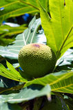 Breadfruit. (Artocarpus altilis) tree in tropical forest. Bangkok, Thailand Stock Image