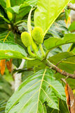 Breadfruit Artocarpus Altilis. Unripe Jackfruits The Scientific Name For This Fruit Is Artocarpus Heterophyllus Stock Photo