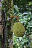 Breadfruit. (Artocarpus altilis). This was photographed in Malaisia, Borneo Stock Image