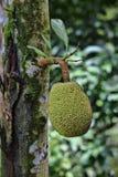Breadfruit Stock Image