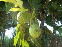 Breadfruit artocarpus atilis on tree. Breadfruit artocarpus atilis hanging on the tree Stock Image