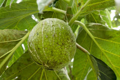 Breadfruit Stock Images