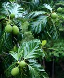 breadfruit drzewo Zdjęcie Royalty Free