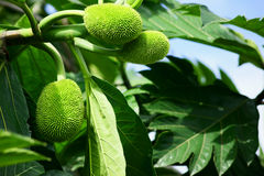 Breadfruit in Ecuador Stock Photo