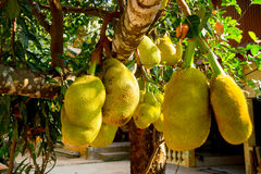 Breadfruit is a fruit Stock Photos
