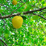 Breadfruit and green leaves Royalty Free Stock Photography
