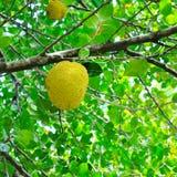 Breadfruit i zieleń liście Fotografia Royalty Free