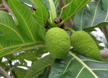 Breadfruit : the large, round, starchy fruit of a tropical tree, Royalty Free Stock Photos