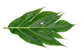 Breadfruit leaf  Stock Photography