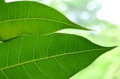 Breadfruit leaf Stock Photography