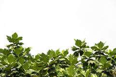 Breadfruit leaf Royalty Free Stock Photos