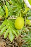 Breadfruit, liście i okwitnięcie, zdjęcia stock