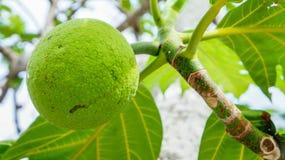 Breadfruit na drzewie Fotografia Stock