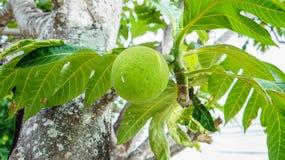 Breadfruit na drzewie Zdjęcia Stock