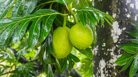 Breadfruit Stock Image
