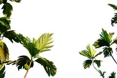 Breadfruit tree leaves with branches on white isolated background for green foliage backdrop. Breadfruit plant raw fruits sun light white isolated background stock image