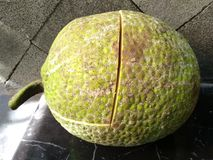breadfruit that is ready to be cooked stock photo