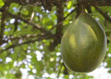Breadfruit ripening on the tree Royalty Free Stock Photography