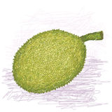 Breadfruit rough-skinned variety whole. Illustration of whole breadfruit rough-skinned variety with scientific name Artocarpus altilis x mariannensis originated Royalty Free Stock Photography
