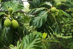 Breadfruit tree. Breadfruit (Artocarpus altilis) tree in tropical forest. Puerto Rico. Central America Stock Image