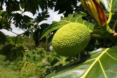 Breadfruit tree. Fruit of the Breadfruit tree (Artocarpus altilis) in tropical jungle Royalty Free Stock Photo