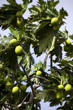 Breadfruit tree Stock Photos