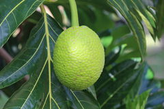 Breadfruit on tree Royalty Free Stock Photo