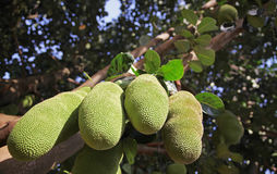 Breadfruit on a tree in Burundi, Africa. The tropical fruit is full of nutrients and energy Stock Image