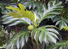 Breadfruit Tree, Caribbean Stock Image