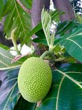 Breadfruit tree Stock Image