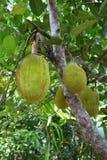 Breadfruit tree Royalty Free Stock Photography
