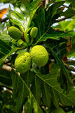 Breadfruit tree with fruits. Breadfruit Artocarpus altilis tree with fruits. Breadfruit originated in the South Pacific and was eventually spread to the rest of Royalty Free Stock Photography