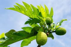 Breadfruit tree with fruits. Breadfruit Artocarpus altilis tree with fruits. Breadfruit originated in the South Pacific and was eventually spread to the rest of Royalty Free Stock Photo