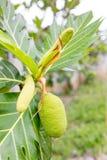 Breadfruit  on tree Stock Image