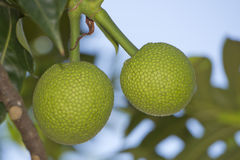 Breadfruit on tree Royalty Free Stock Photography