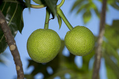 Breadfruit on tree Royalty Free Stock Images