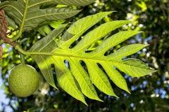 Breadfruit on tree Royalty Free Stock Photo