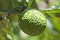 Breadfruit on tree Stock Photography