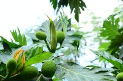 Breadfruit on tree mini Thai fruit green leaf .breadfruit Fresh fruit sake on the fruit tree is translated into food. And medicine Royalty Free Stock Photo